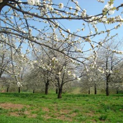 Randonnées des Cerisiers - 17 avril 2010